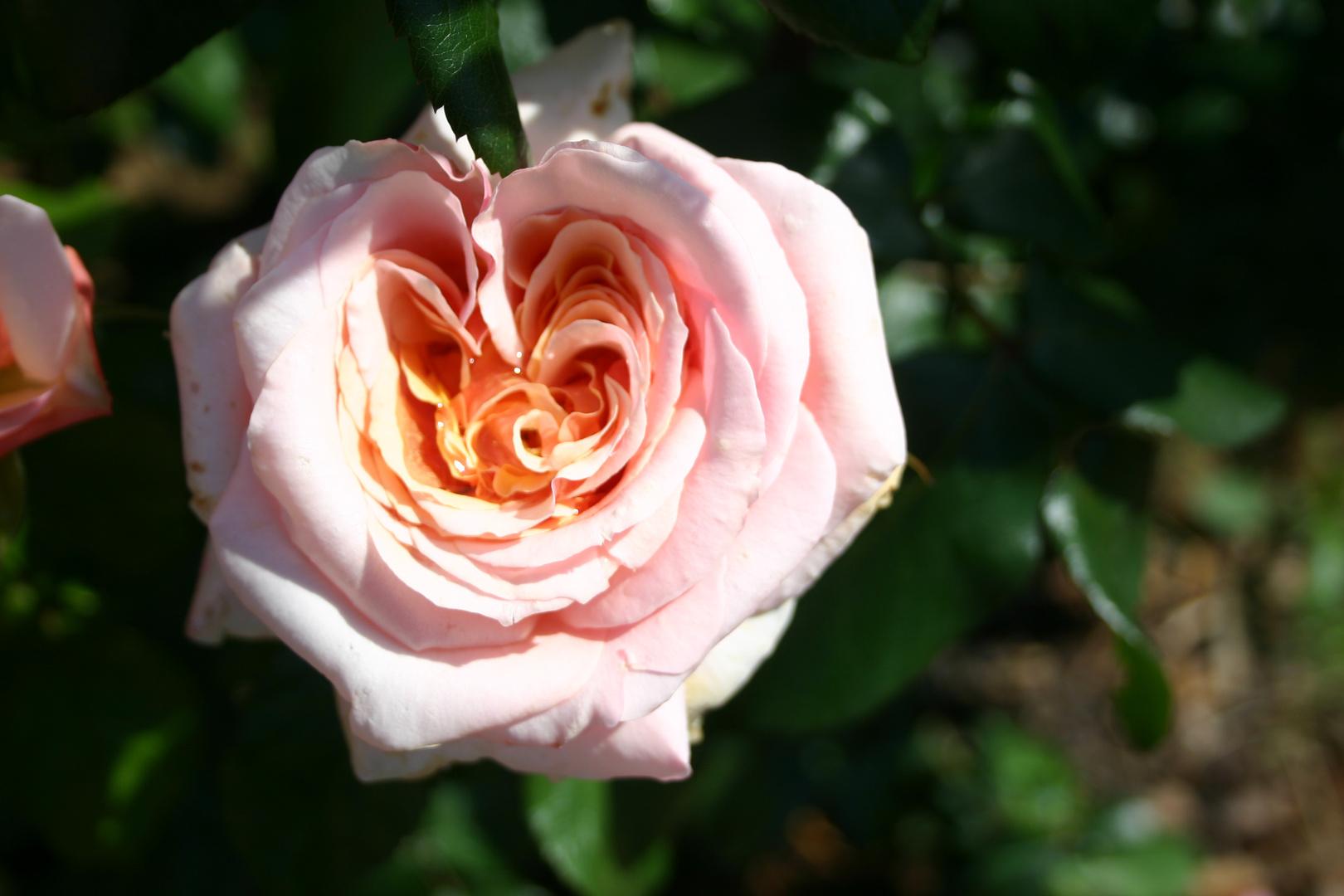 """""""Herz in Rose"""""""