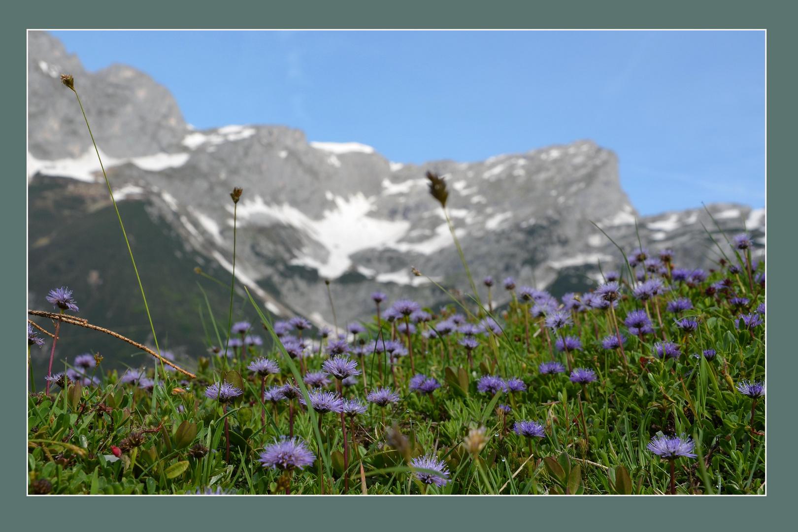 Herzblättrige Kugelblume -