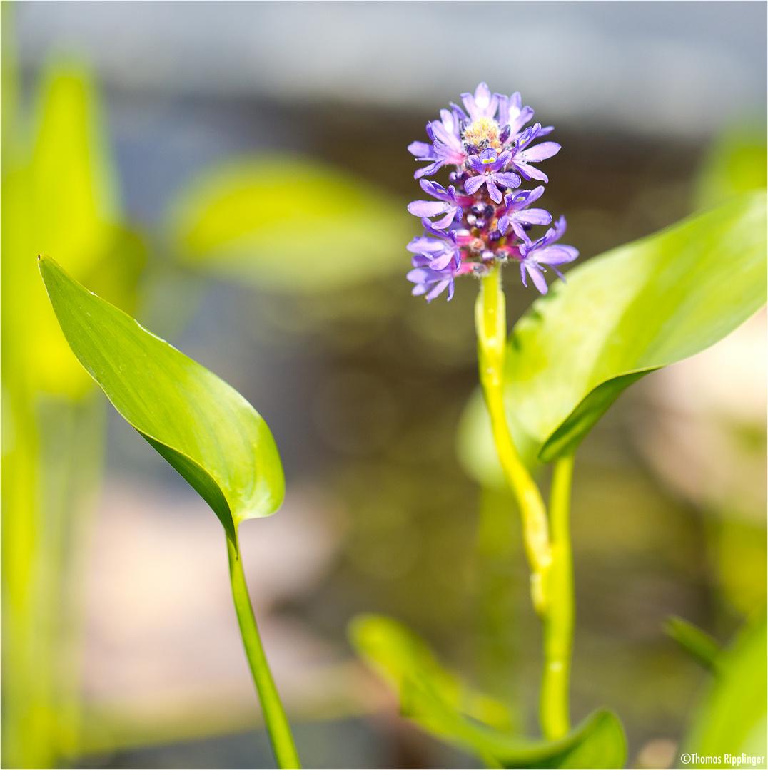 Herzblättriges Hechtkraut (Pontederia cordata)