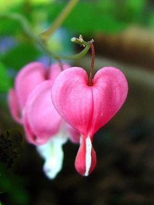Herzblüten