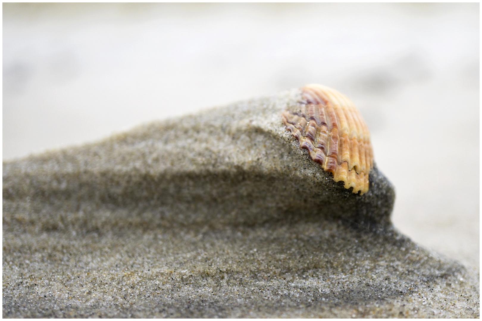 Herzmuschel klammert sich an Minidüne