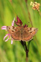 Hespérie de l'alcée sur Lychnis fleur de coucou