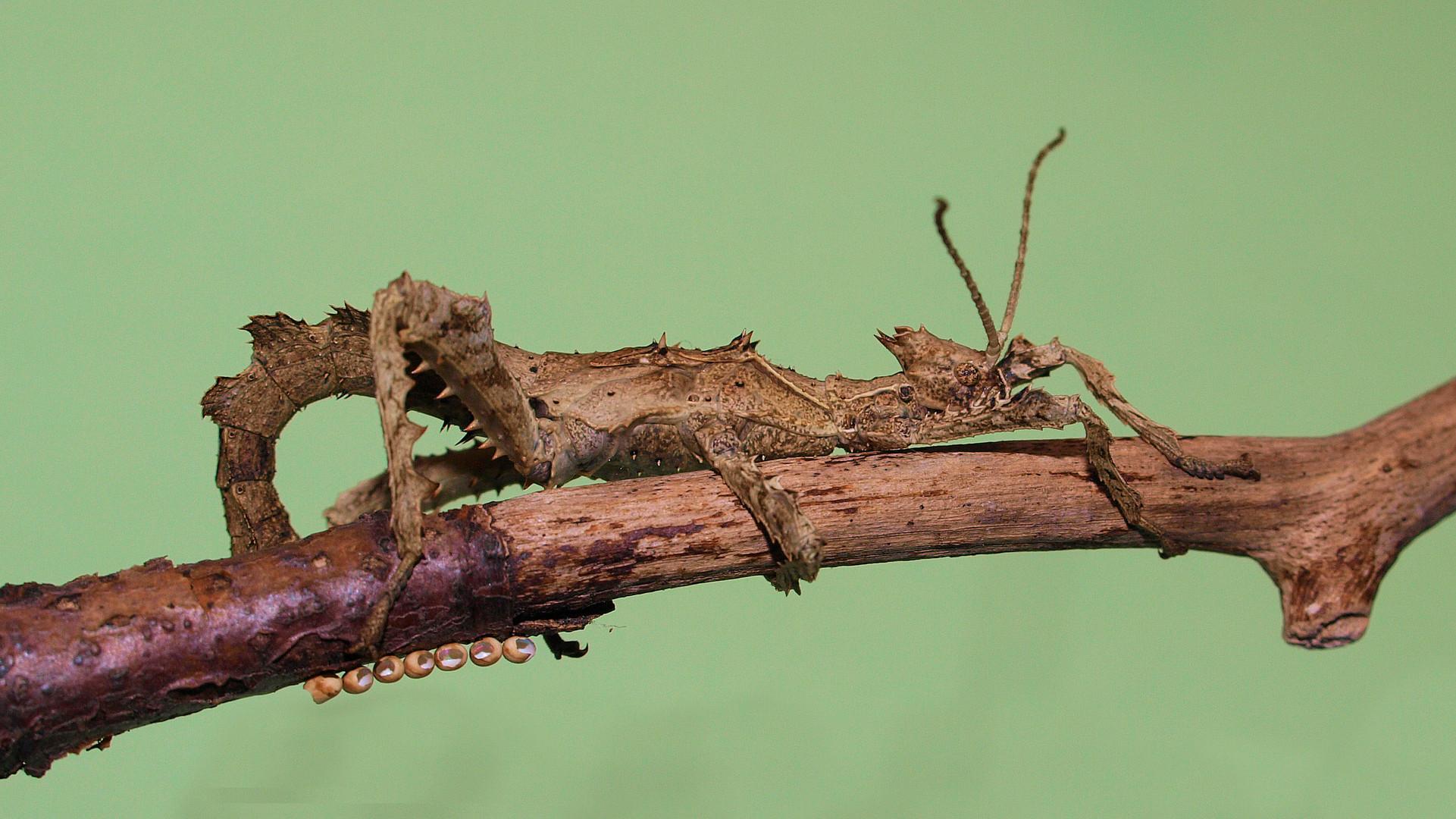 Heteropteryx junges Mädel....
