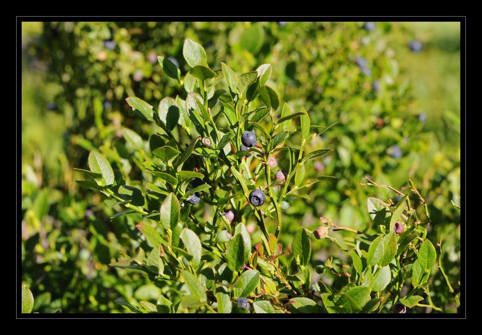 Heubeeristruch (Heidelbeerenstrauch)