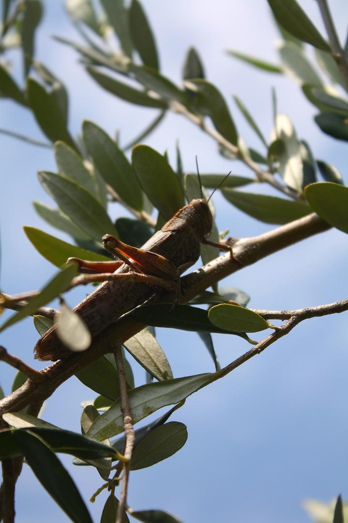 Heuschrecke auf Olivenbaum