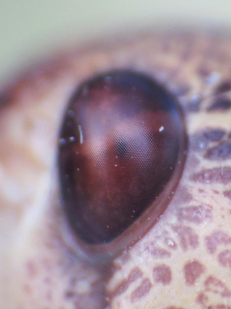 Heuschrecke - Auge