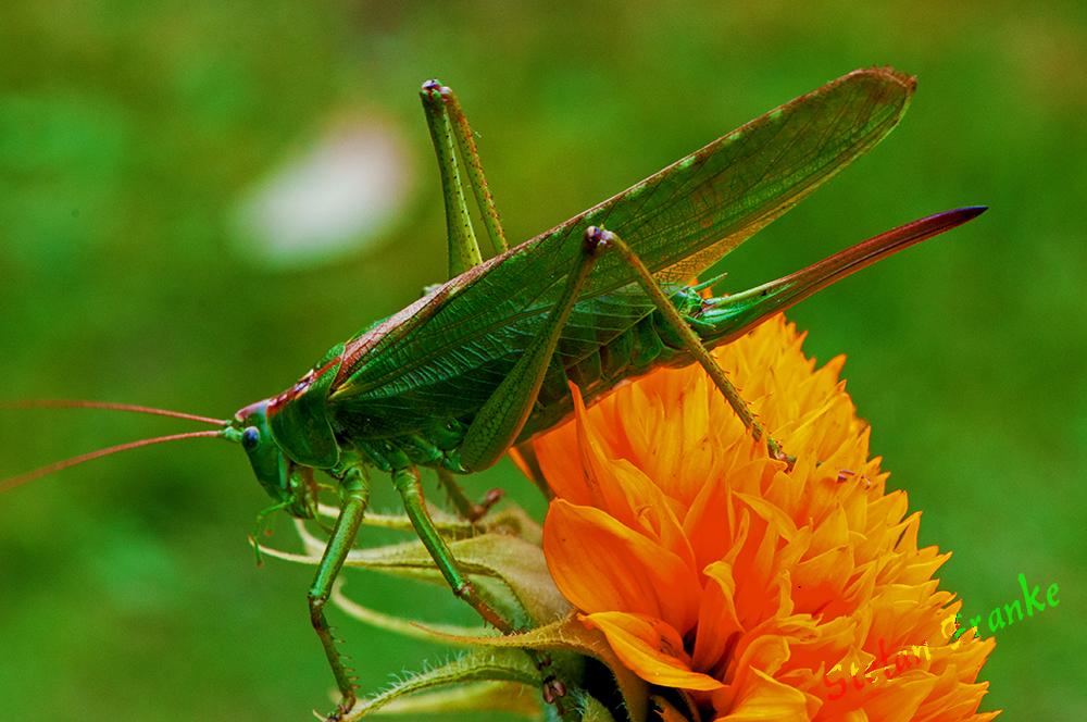 Heuschrecke...... Grünes Heupferd...... Tettigonia viridissima