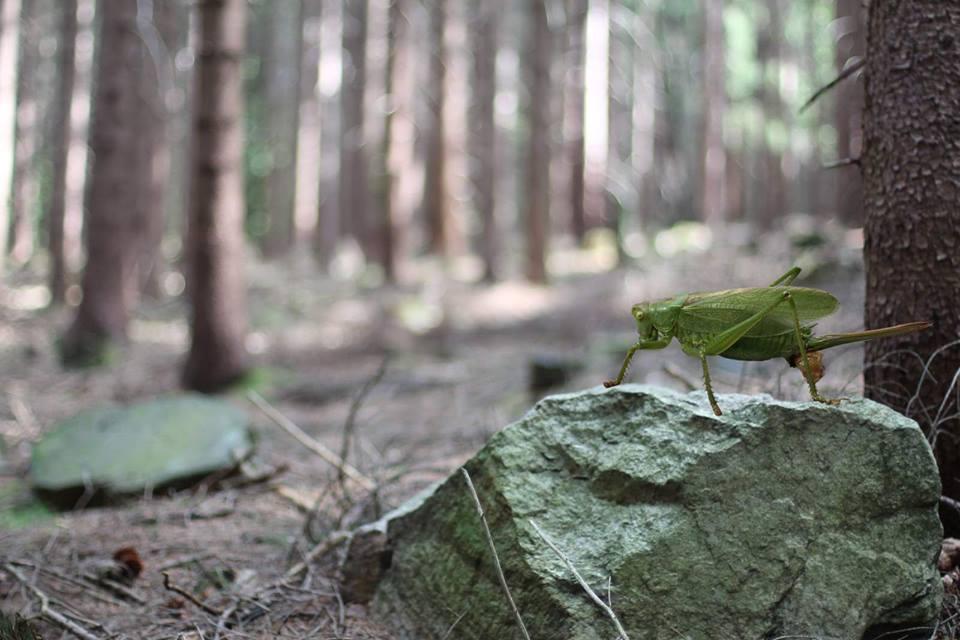 Heuschrecke im Wald...