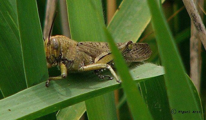 Heuschrecke / Mallorca /Pollenca