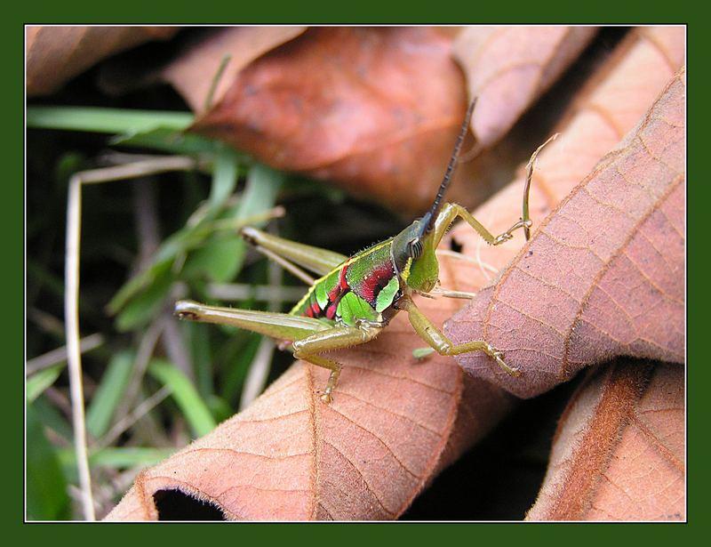 Heuschrecke rot-grün