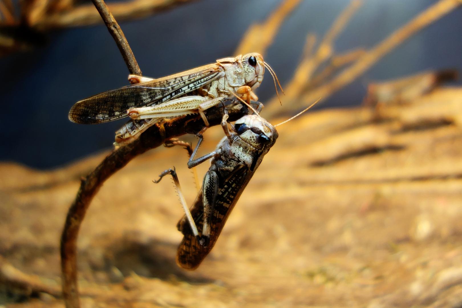 Heuschreckenpaar