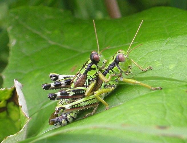 Heuschreckenpaarung