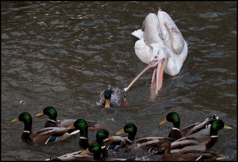 """Heute abend gibt es """"Ente kross""""..."""