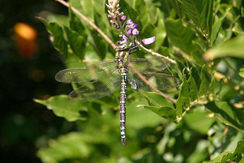 Heute am Gartenteich - die Flügel haben jahreszeitlich bedingt schon etwas gelitten.