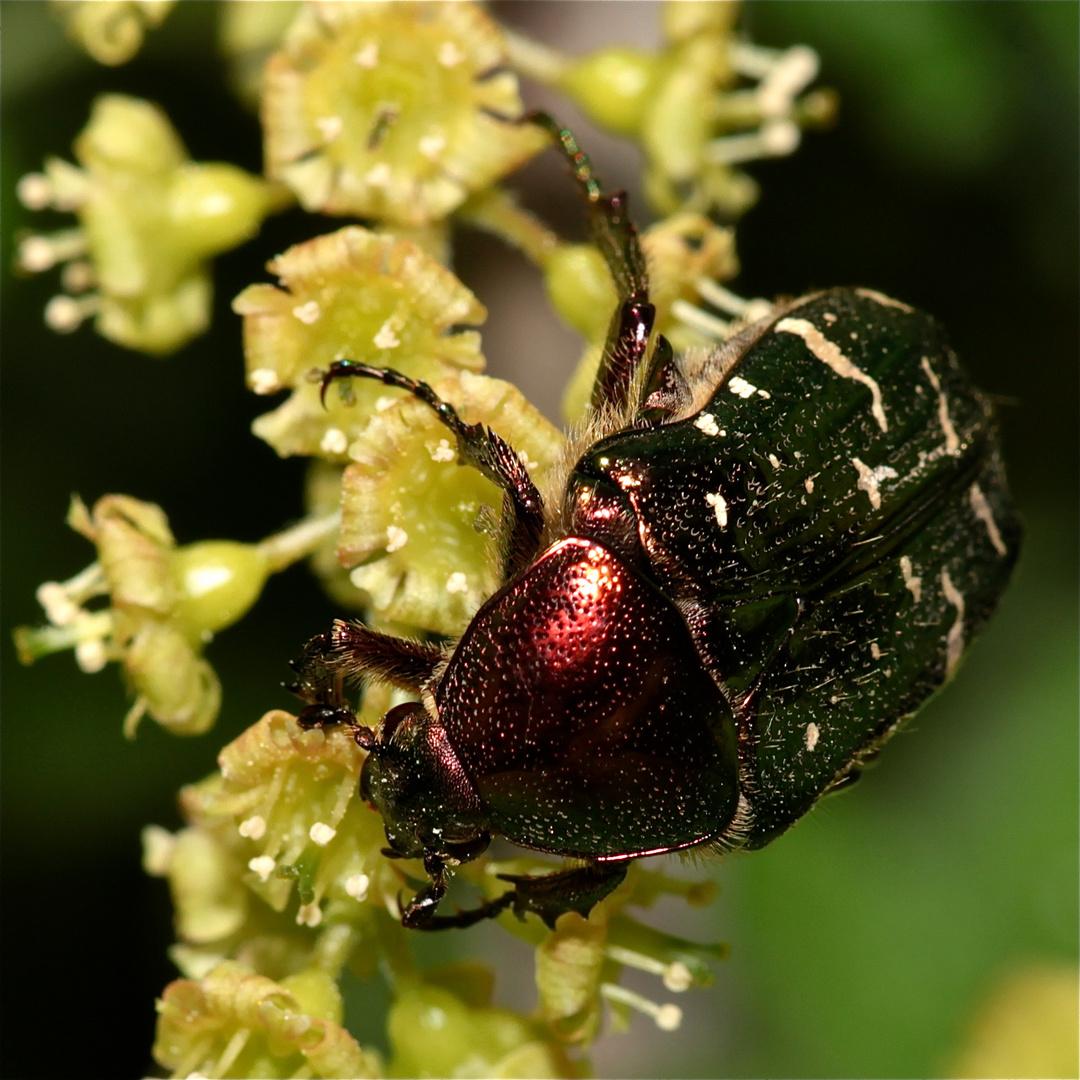 Heute der erste Rosikäfer in Österreich - die Art muß ich noch nachsehen . . .