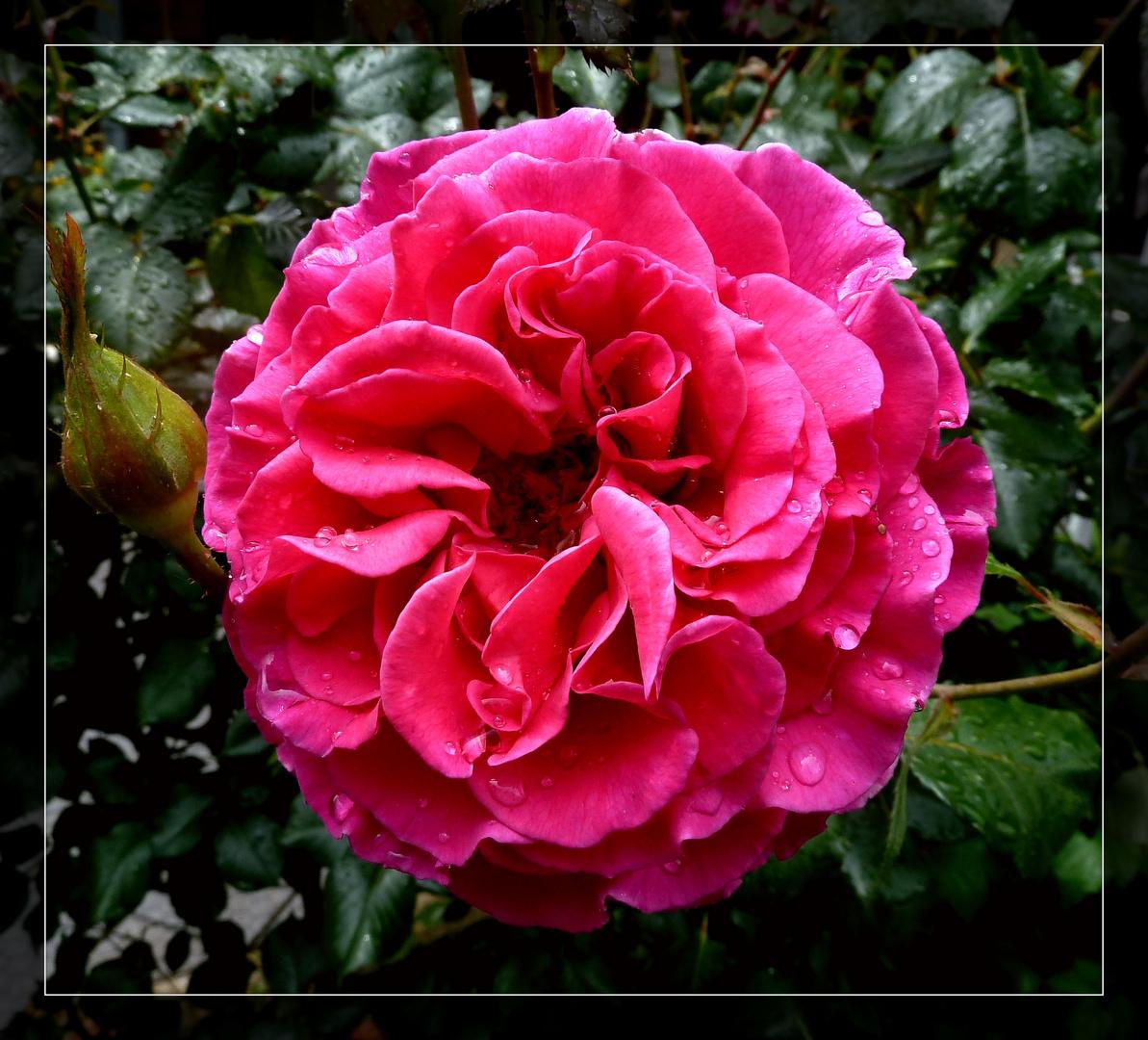 #...Heute eine Rose.......#