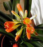 Heute erblüht...die Lilie