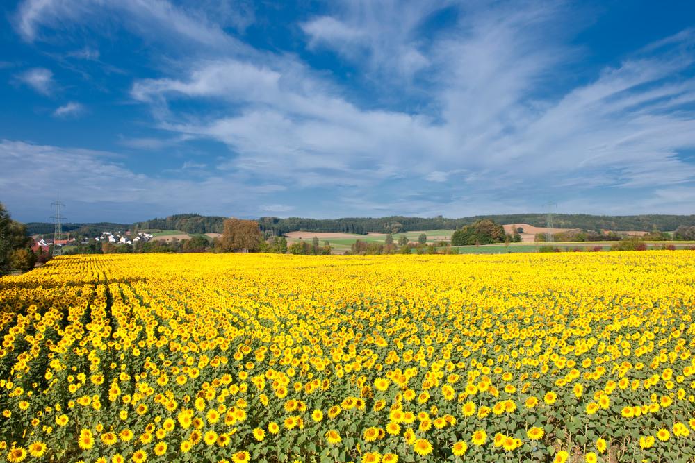 Heute fotografiert - ein spätes Sonnenblumenfeld