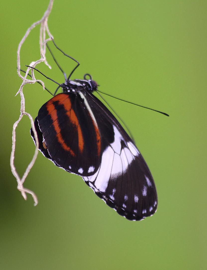 Heute im Nürnberger Tiergarten 7 ...............Schmetterling im Tropenhaus........