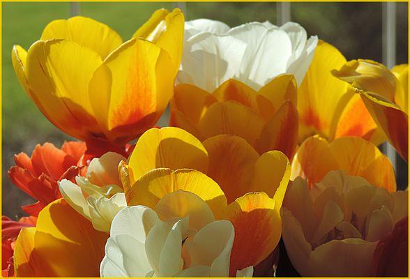 heute mal meine Tulpen im Sonnenlicht