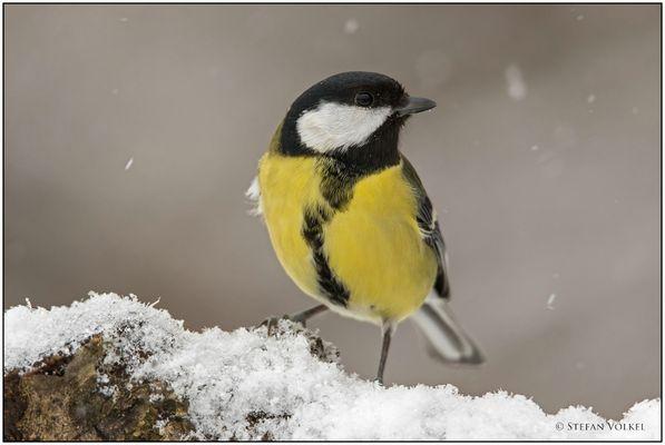 Heute morgen bei Schneefall an der Fütterung