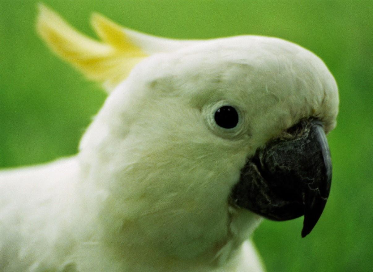 Hey you - cockatoo
