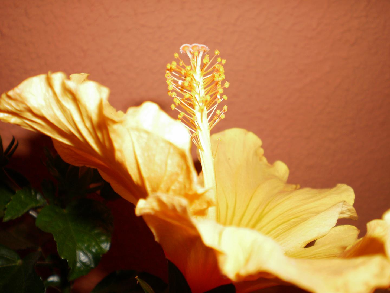 Hibiscus 2 von meiner frau mona fotografiert