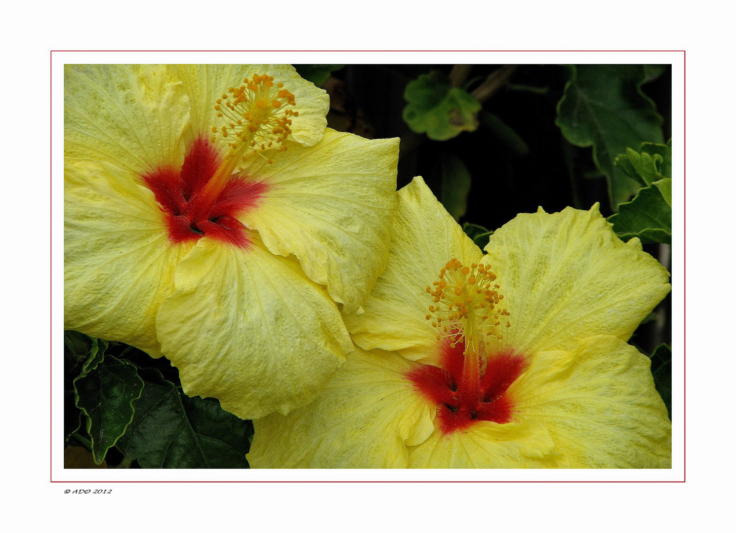 Hibiscus Blossoms for Ayse