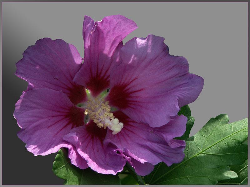 Hibiscus Christinis