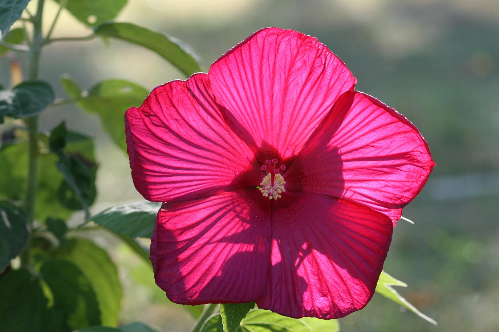 Hibiscus de Jardin