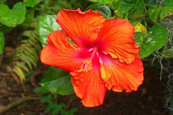 Hibiscus de La Réunion