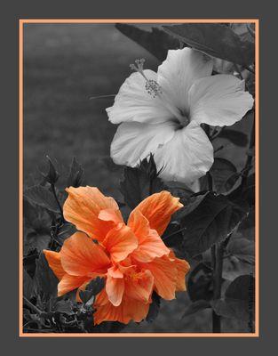 Hibiscus des iles