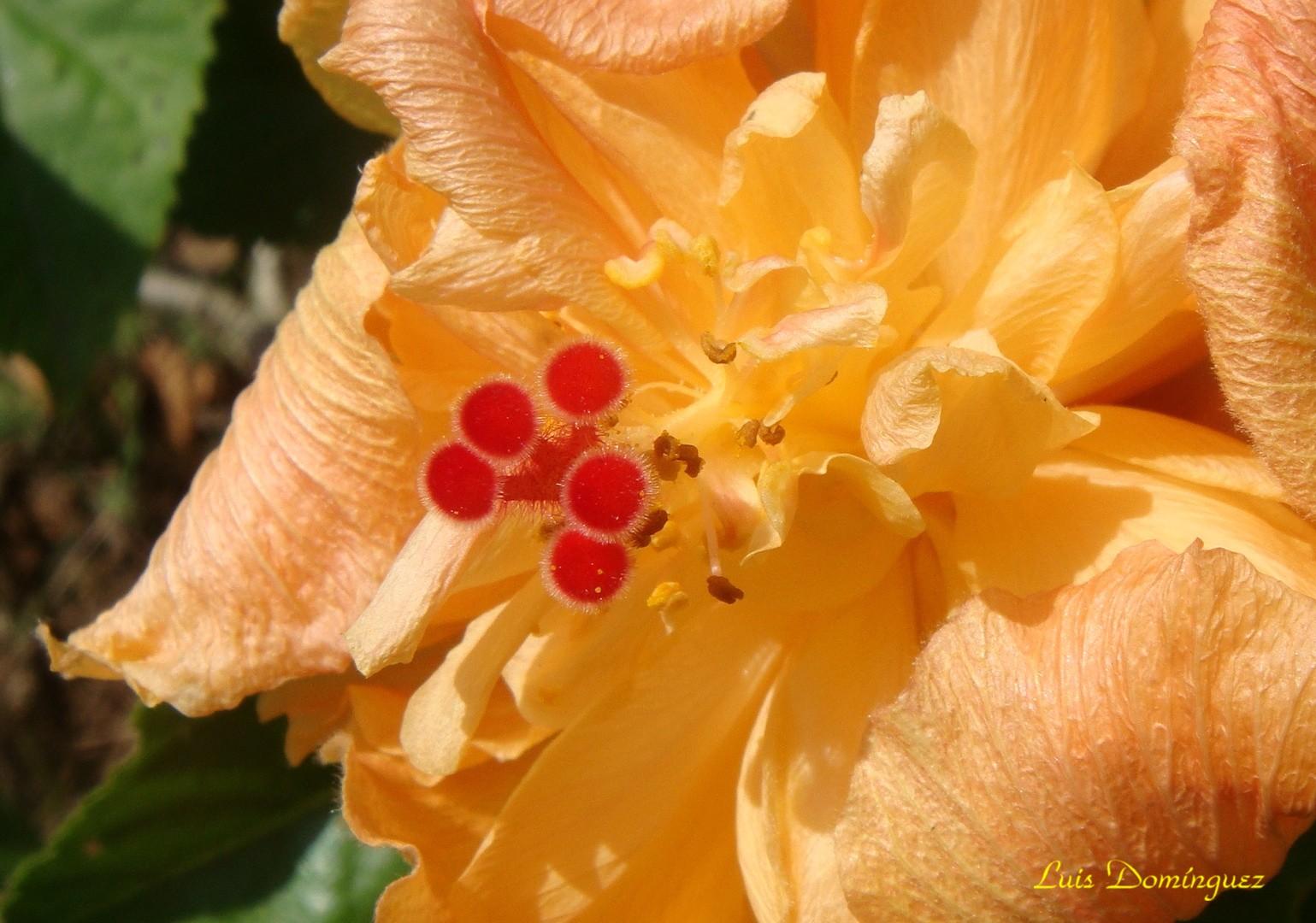 Hibiscus Doble
