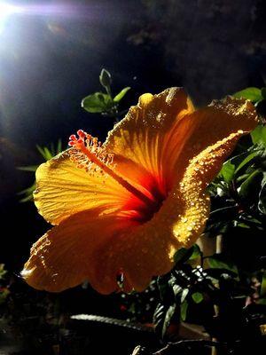 Hibiscus en contre-jour nocturne.