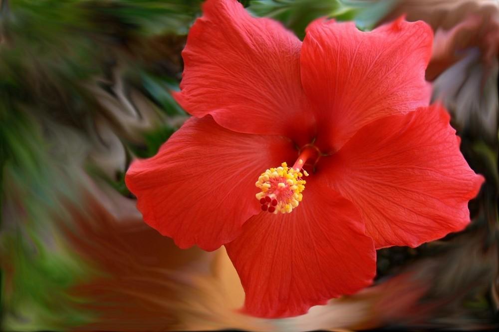 hibiscus flamboyant