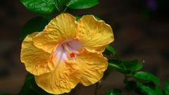 Hibiscus Jaune à Pistil Rouge