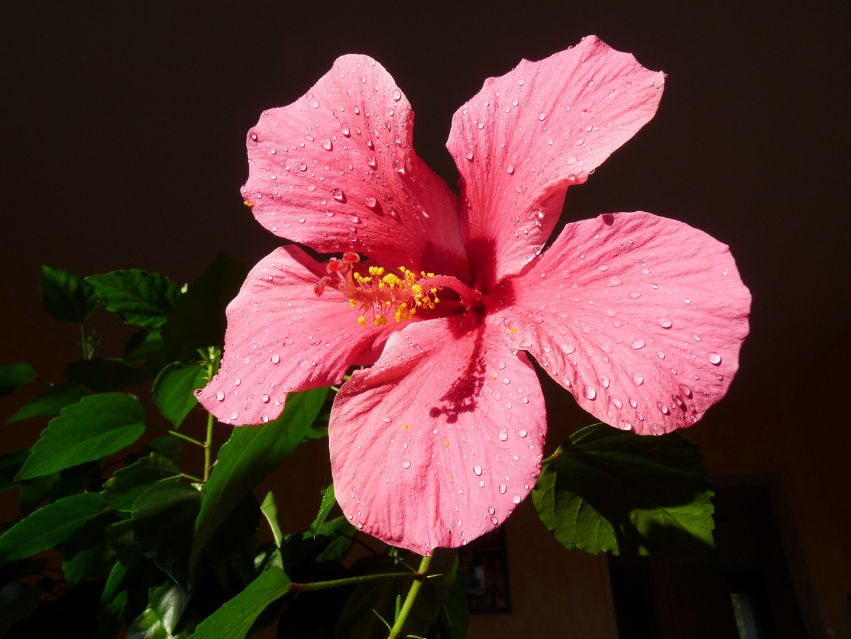 Hibiscus (la grande soeur)