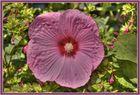 """Hibiscus """" Mauvelous """""""