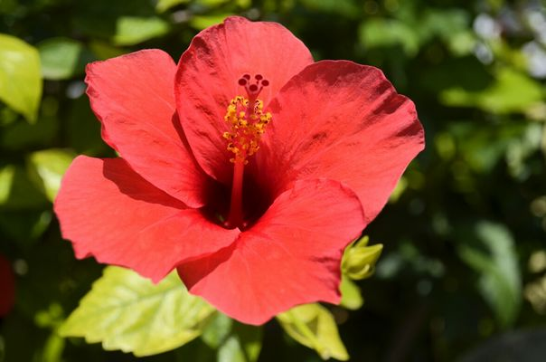 hibiscus rosso