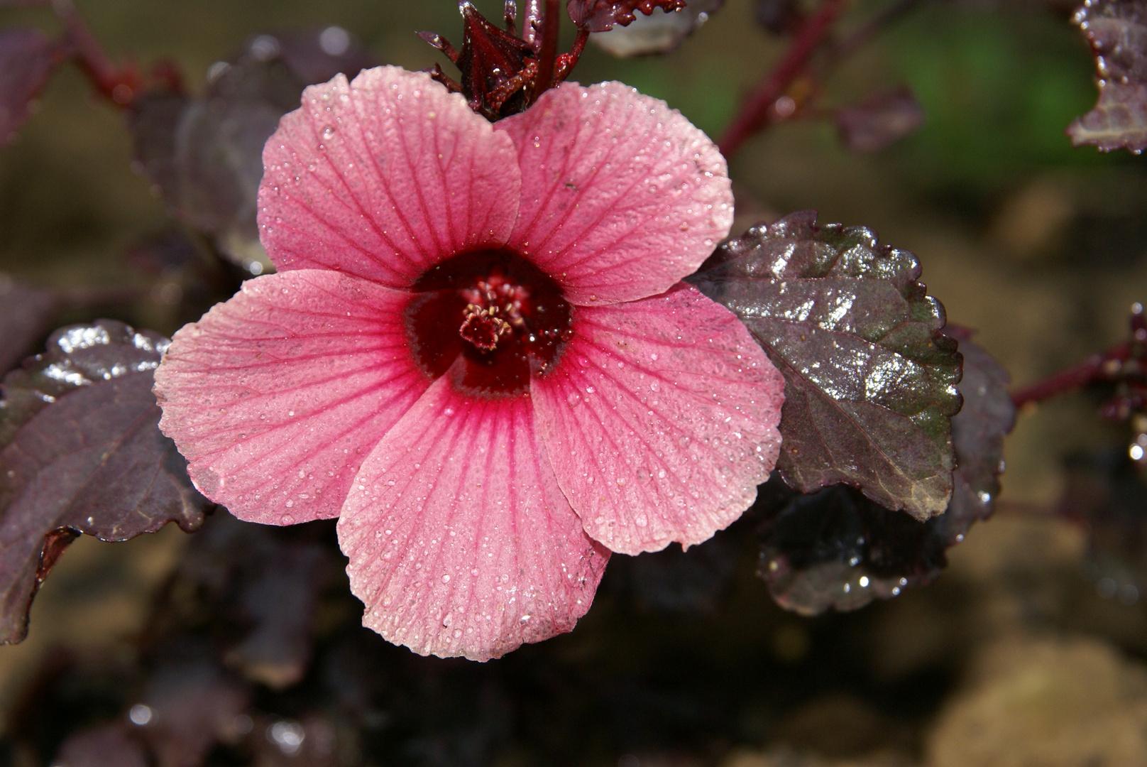 Hibiscus sabdariffa au jardin