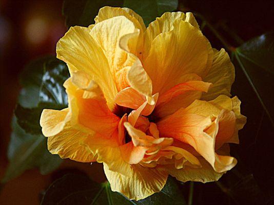 Hibiscusblüte