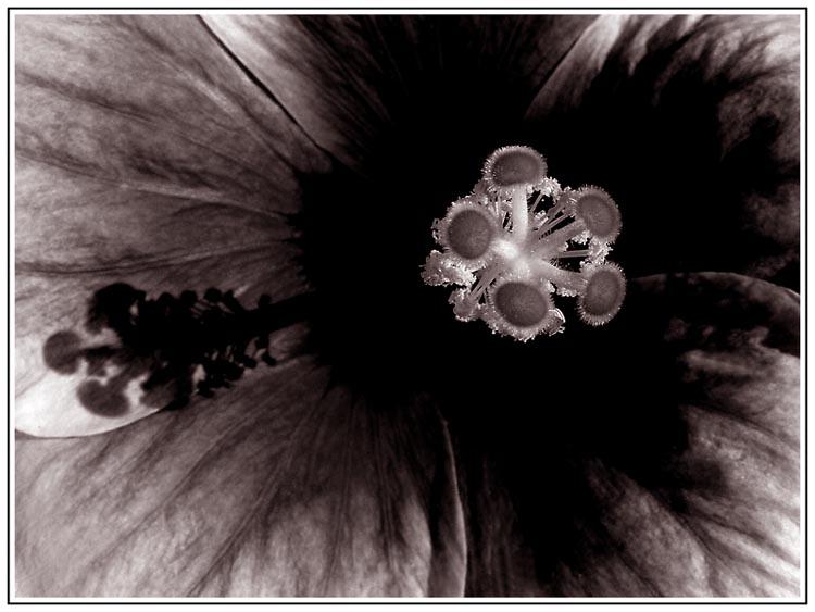 - Hibiscusblüte -