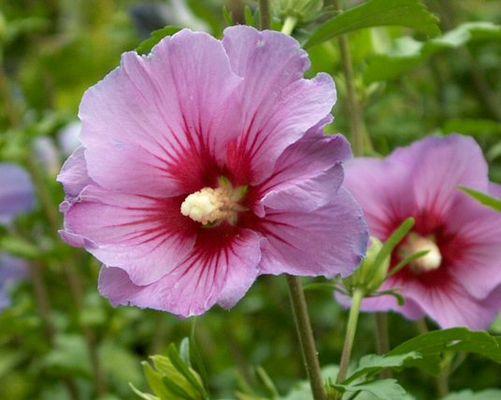 Hibiscusblüte(n)...Tee?