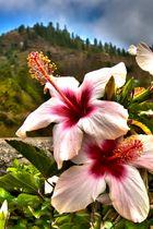Hibiskus auf La Palma (Freihand HDR)