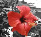 Hibiskus - Colorkey