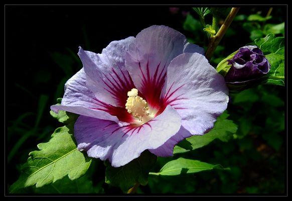 Hibiskus * (Hibiscus)