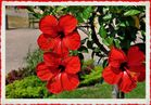 Hibiskus im Park von Sanssouci.........# 1