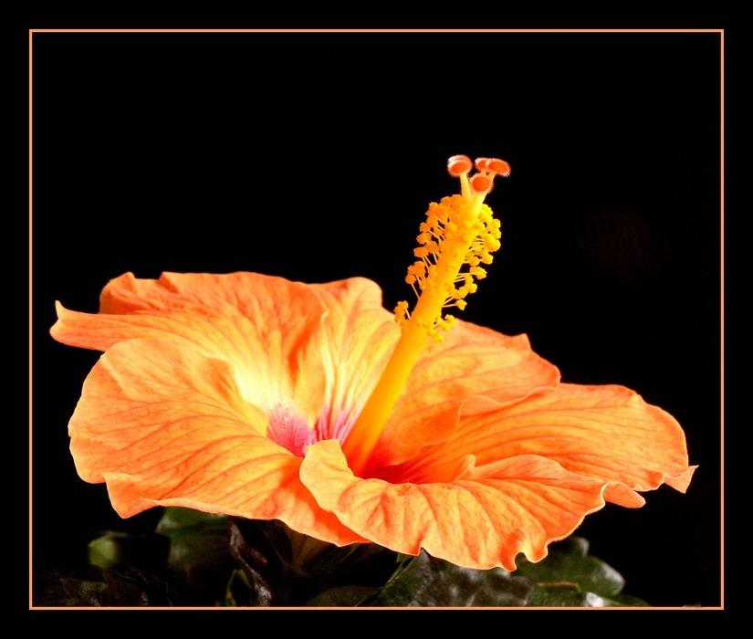Hibiskus in orange