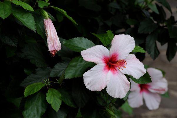 Hibiskus - Madeira