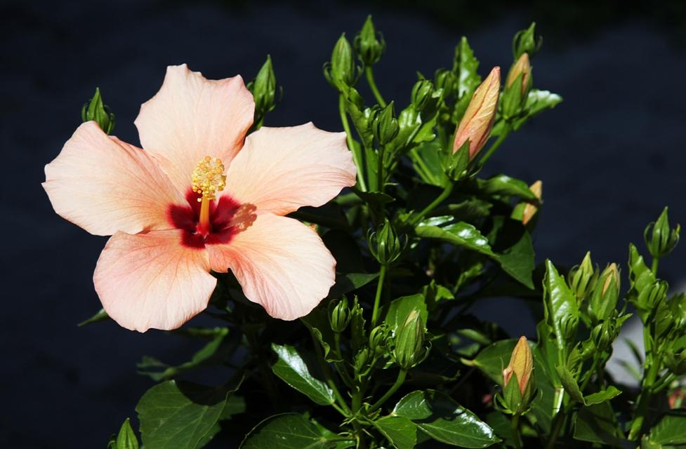 Hibiskus-Pflanze